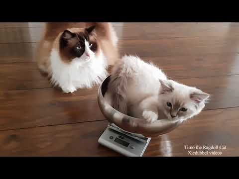 Big Friendly Giant vs Kitten