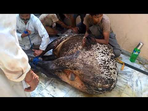 Ustad Raju Qasai Qurbani On Eid Ul Azha 2018 || Chinku Minku