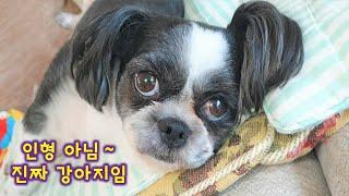 막내동생 같은 귀여운 시츄│응석받이 강아지 [레오는시츄중] ^^