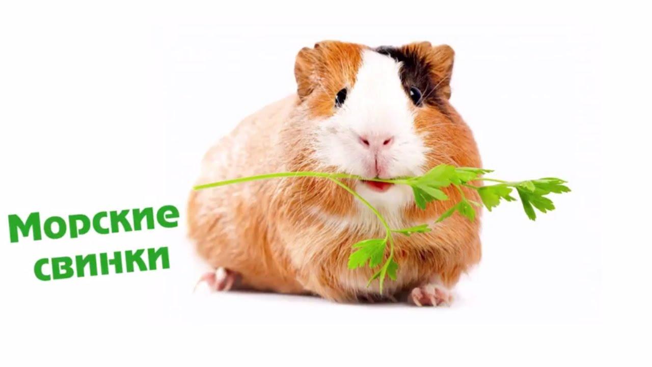 Все о морских свинках в домашних условиях отзывы 684