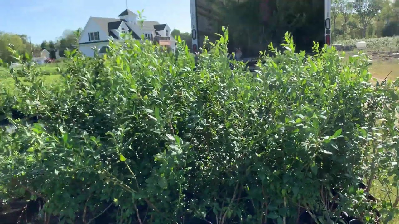 Blueberry Bushes From Dimeo Farms