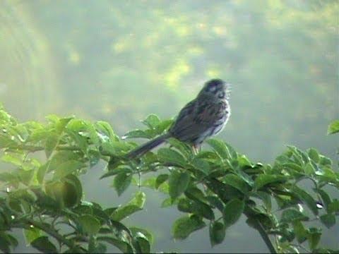 Songbirds of Pennsylvania - chapter 1