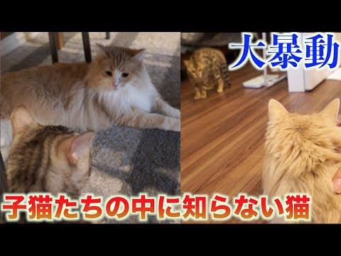 【大パニック】子猫たちの中に知らない猫入れたら戦争が起きたwww