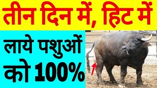 Gambar cover heat problem solution |Dairy Farming in india|hindi urdu,symptom of heat in cow and buffalo.hf cow