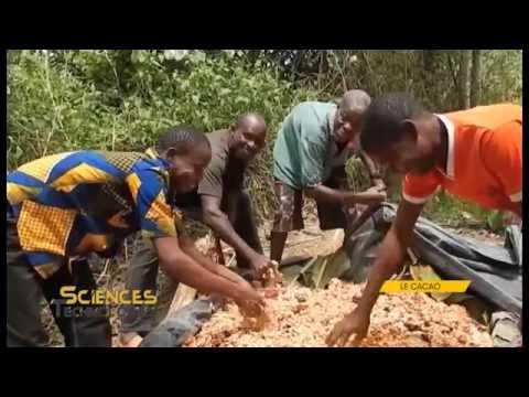 Comment Cultiver et améliorer le rendement du Cacao Mercedes à l'hectare