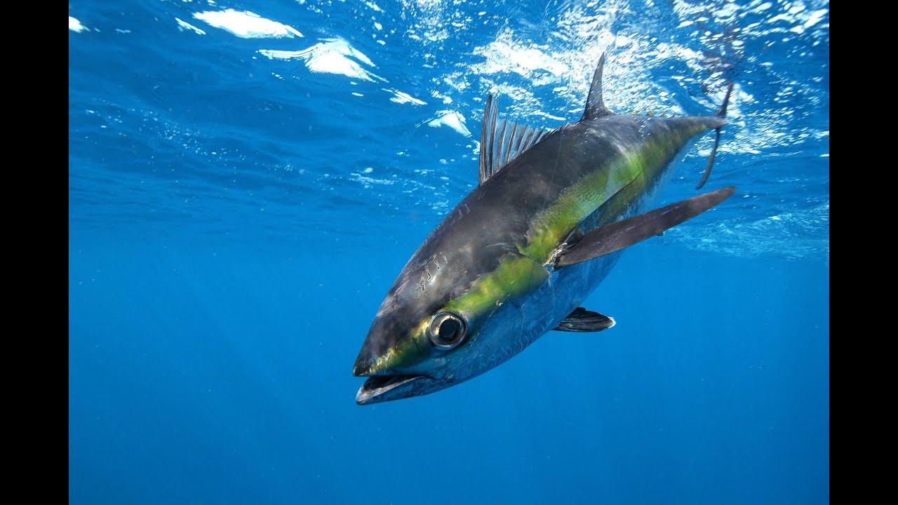 fishing blue fin tuna into extinction