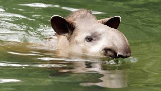 Why Tapirs Love Spending So Much Time Underwater (4K)