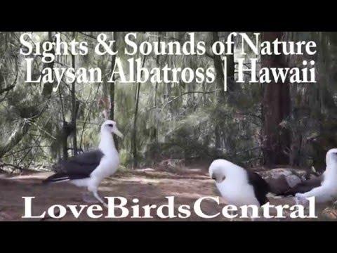 Laysan Albatross | Hawaii | LoveBirdsCentral #61