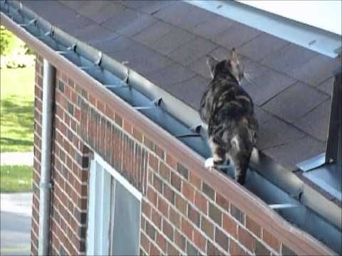 Sheena The Manx Cat - ROOFHOPPER!