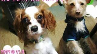 雑種(チワプー)・キャバリア・パピヨン。 うちの3匹の犬の赤ちゃん時代。