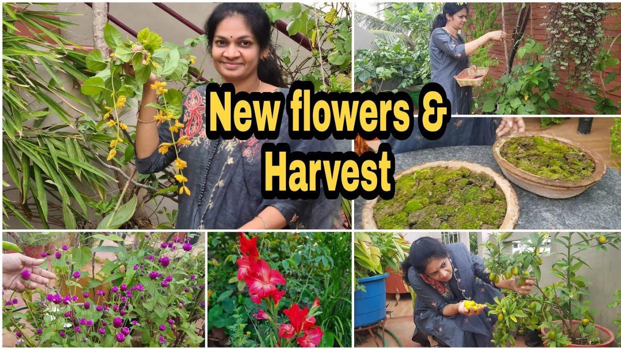 మన గార్డెన్ లో పూసిన కొత్త పువ్వులు మరియు కూరగాయలు/New flowers & Harvest #gardening  #Terracegarden