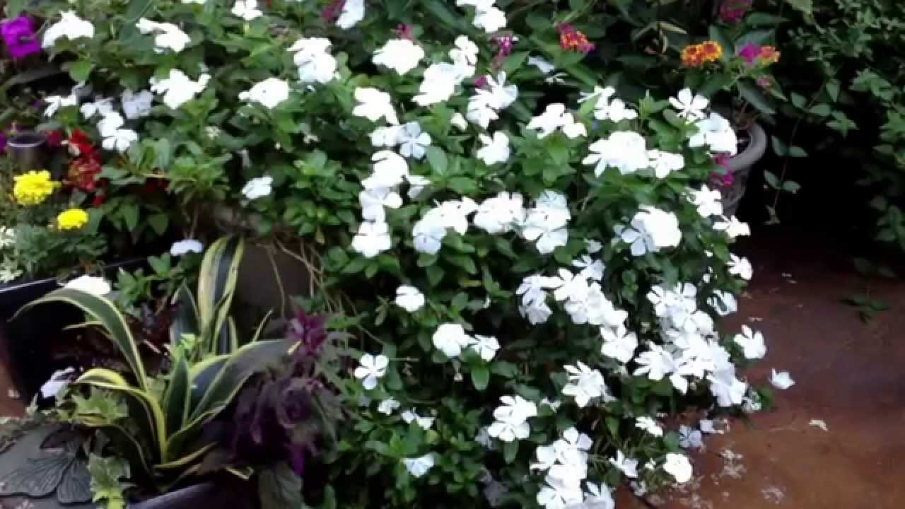 Periwinkle Vinca Abundant Blooms For Your Patio Container Garden