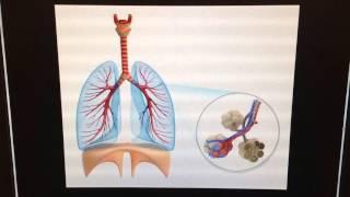 Lungs & Diaphragm