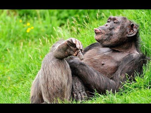 Приколы с обезьянами.Самые смешные и милые.Самые лучшие в мире это-Обезьяны.