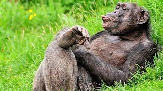 Лучшие приколы с обезьянами.Подборка смешных и интересных видео с обезьянами .