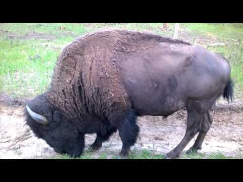 Wild Buffalo Custer State Park Black Hills South Dakota SD 2016