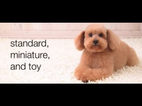 Dogs 101 - Poodles