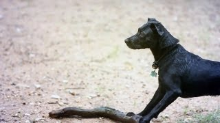 Lab-border Collie Mix Fetches A Giant Stick   The Daily Puppy