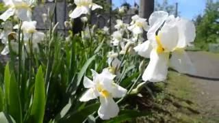 Красивая клумба с ирисами(Великолепный цветок ирис., 2016-05-24T05:23:58.000Z)