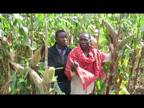 A farmer in Iringa rural district benefits from an improved maize variety