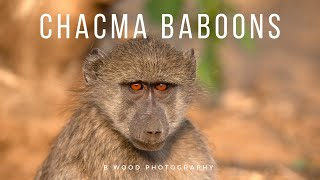 The Chacma Baboons of Kruger National Park 🐒