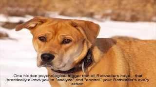 Rottweiler Puppies Sale Price