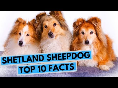 Shetland Sheepdog - TOP 10 Interesting Facts