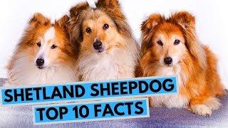 Shetland Sheepdog  TOP 10 Interesting Facts