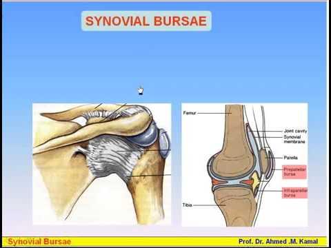 09 Serous Membranes 2 Synovial Sheaths &Bursa Anatomy Intro Dr Ahmed Kamal