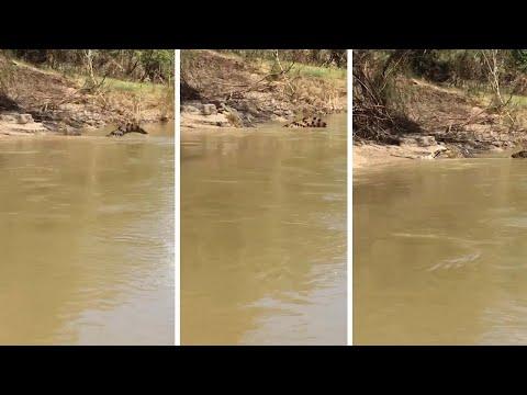 Saltwater Crocodile Eats Tail Of Crocodile Whole