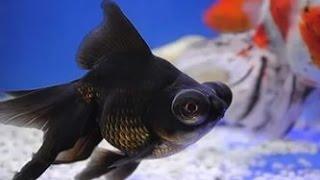 Рыба телескоп , содержание .