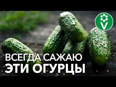 Какие ОГУРЦЫ САМЫЕ УРОЖАЙНЫЕ, а какие самые вкусные? | выращивание | вырастить | огурцами | посадка | огурцов | урожай | огурцы | огурец | лучшие | сорта