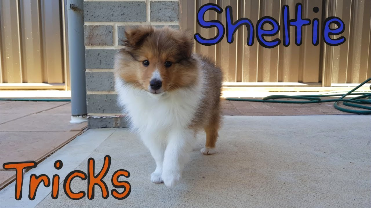 Sheltie learning tricks (Compilation)