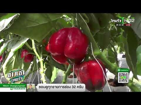 ลำปาง พริกหวาน สร้างรายได้ 3 หมื่นบาท/เดือน   04-05-61   ข่าวเช้าไทยรัฐ