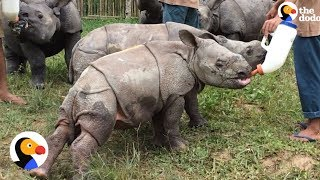 Baby Rhino Loses Mom, But Gets Help From Entire Village | The Dodo