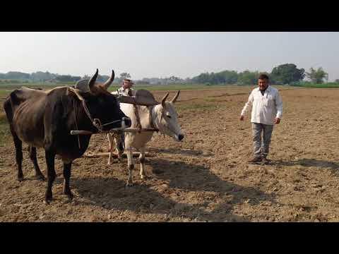 What did Farmer say about plough the bulls? बैलों से हल चलाते कमरुद्दीन ने क्या कहा?