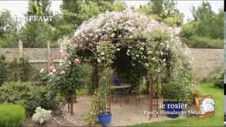 Le rosier Paul