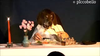 Marieles Dinner - Funny Dog Eats Elegant At Table