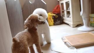 Amber Toy Poodle - Husky, Lassie, Bubbles & Rocky
