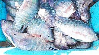 Pesca de Tilapias de laguna - FISHING TILAPIA