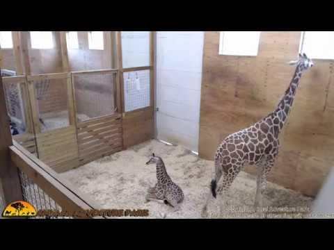 Tuesday Giraffe Cam (5-30-17)