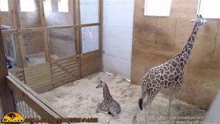 Tuesday Giraffe Cam (5-30-17) thumbnail
