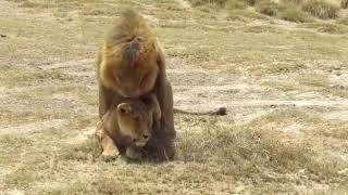 Lion Tries Hard to Mate with Female ( Love making )