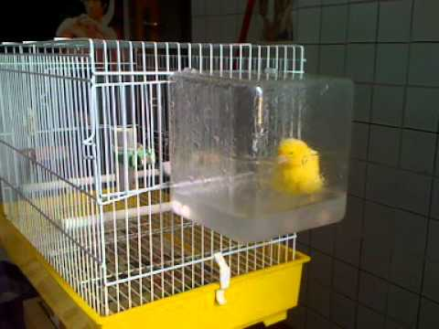 Canarino che fa il bagno youtube - 94 si fa in bagno ...