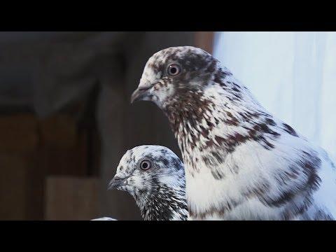 Орнитолог-самоучка из Душанбе вывел новую породу голубей
