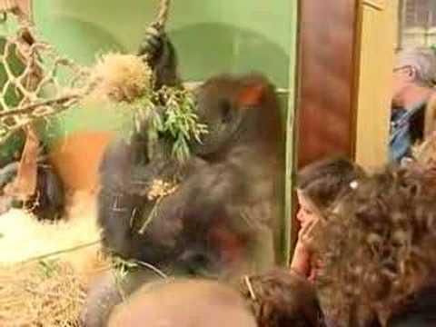 gorilla bokito and his victim in