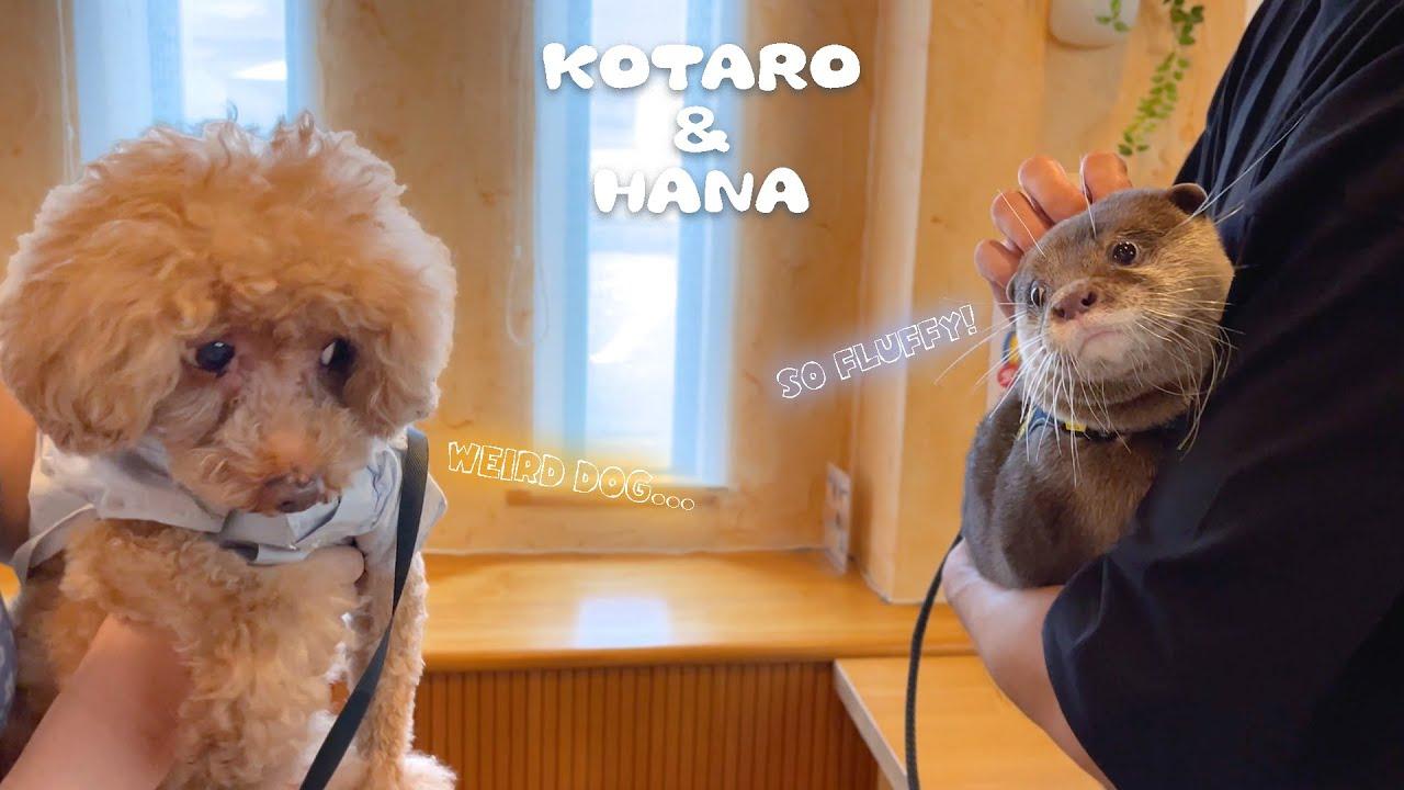 イヌ好きカワウソが旅先でかわいいワンコに囲まれた Otters Interact with Dogs on Vacation