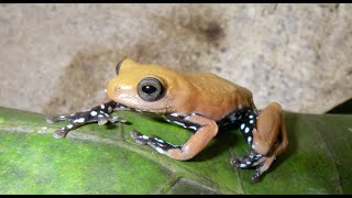 Uncovering the Secret Lives of Reed Frogs | California Academy of Sciences