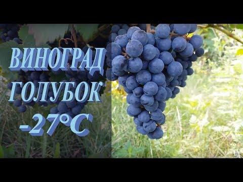 Виноград Голубок - технический сорт винограда.