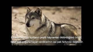 Kurtlar, Nehirler ve Doğayı Nasıl Değiştirdi? - How Wolves Change Rivers?
